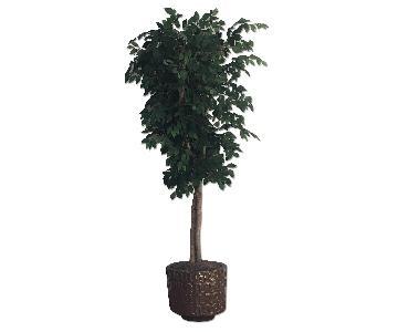 Arhaus Ficus Trees