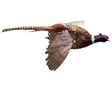 Ringneck Pheasant Taxidermy Mount In Flight