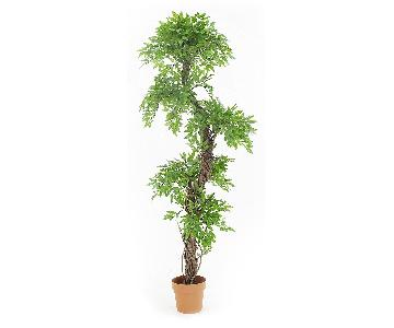 Japanese Fruticosa Tree