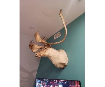 6 Point Caribou Shoulder Mount