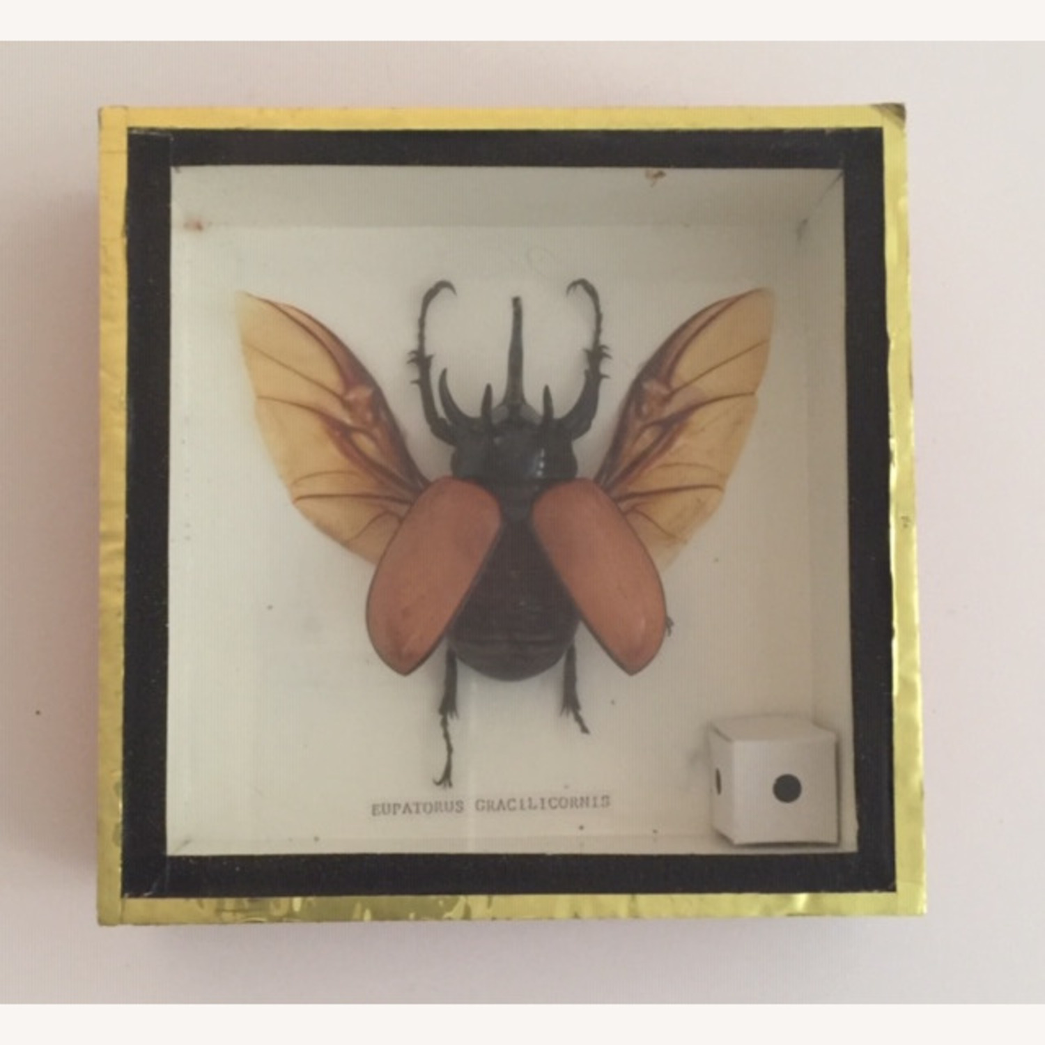 Insect Taxidermy Shadowbox