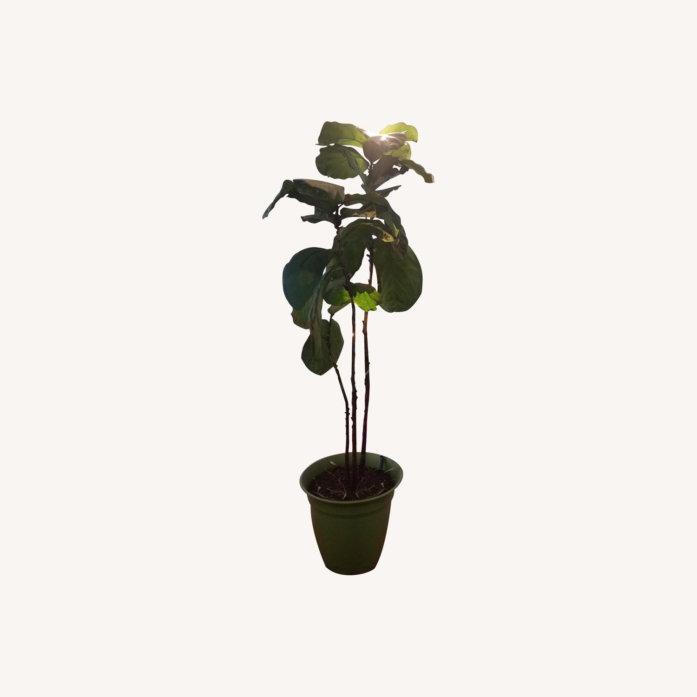 Tall Fiddle Leaf Fig Tree - image-0