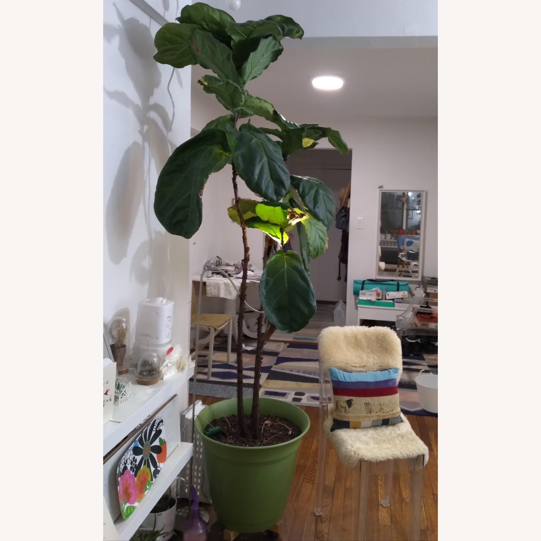 Tall Fiddle Leaf Fig Tree - image-3