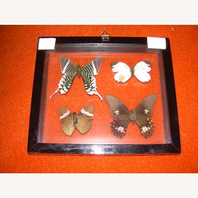 4 Butterflies from Peru - image-3