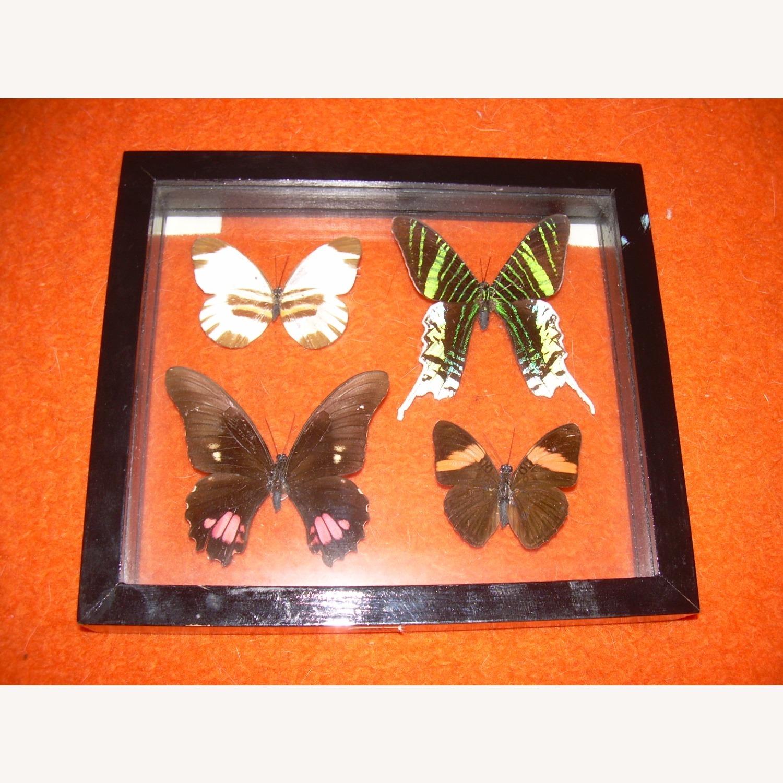4 Butterflies from Peru - image-4