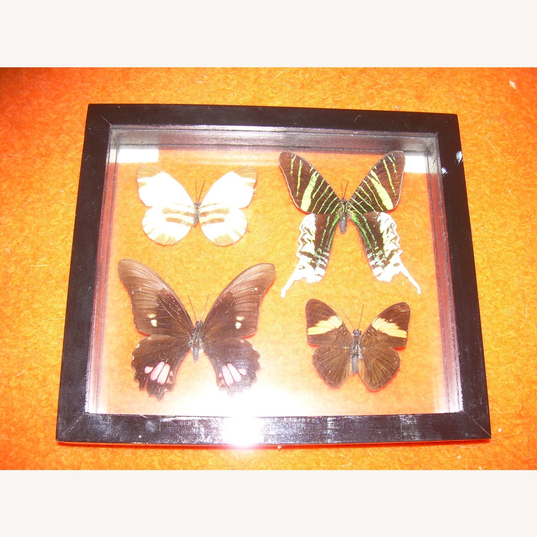 4 Butterflies from Peru - image-2